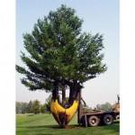 Как выбрать и посадить дерево крупномер